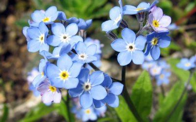 """Florile de """"nu-ma-uita"""""""